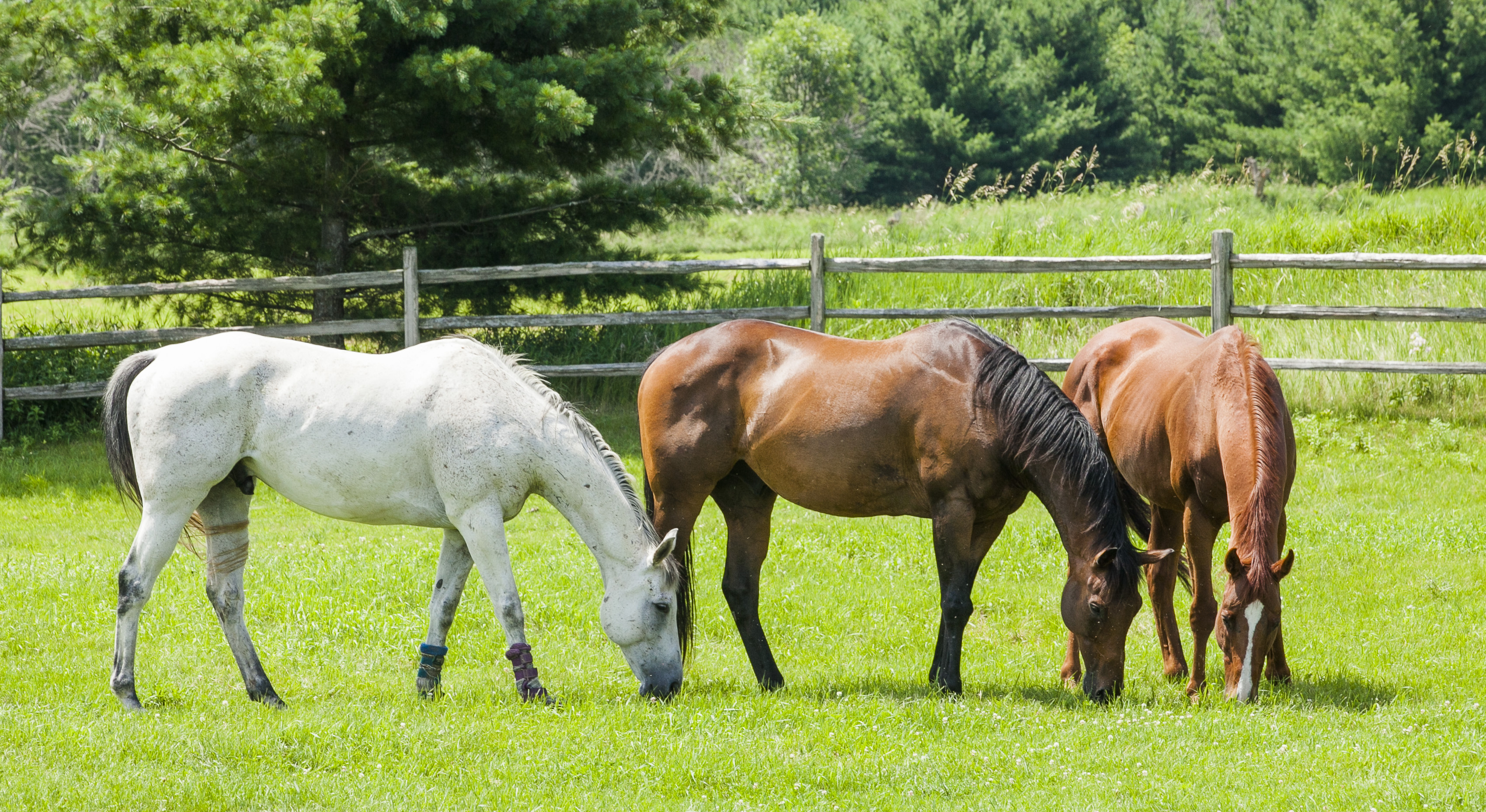 hree horses, a gray, a bay, and a chestnut grazing in a pasture