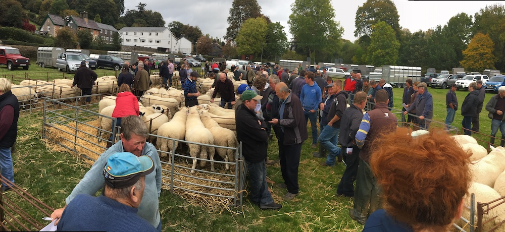 Llanidloes Sheep Sale pulls in the crowds yet again