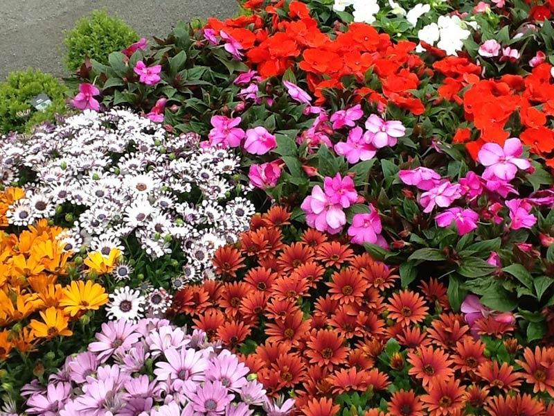 summer-colour-plants-3
